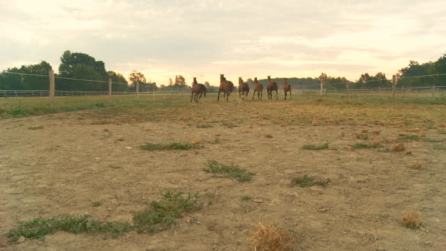 vídeos y material grabado en eventos de stock de grulla de alta definición: caballos corriendo al atardecer - grupo mediano de animales