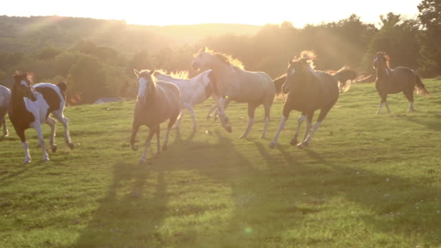 horses running free super slow motioning field at sunset - animal family stock videos and b-roll footage