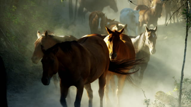 vídeos de stock, filmes e b-roll de horses running in roundup with cowboys dude ranch - north america