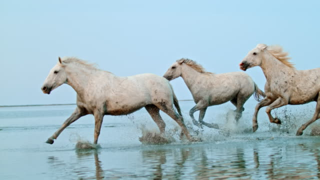 slo mo horses running in shallow water on the beach - horse stock videos & royalty-free footage