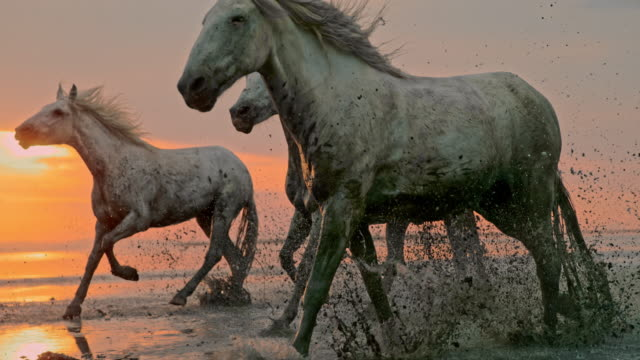 slo mo horses running on the beach at sunset - time warp effect - large group of animals stock videos & royalty-free footage
