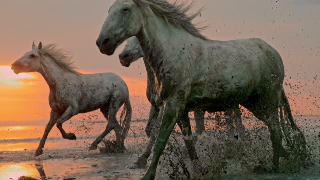 SLO MO Horses running on the beach at sunset