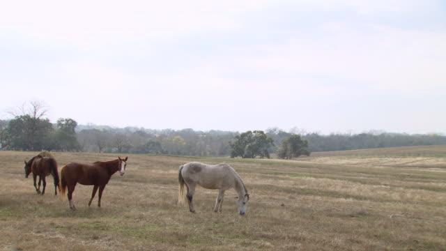 vídeos y material grabado en eventos de stock de ws pan horses standing in farm / austin, texas, united states - animales de trabajo
