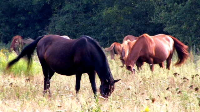 pferde - tierfarbe stock-videos und b-roll-filmmaterial