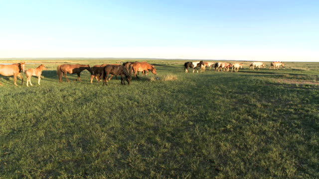 horses walking across mongolian steppe at sunset - independent mongolia stock videos & royalty-free footage