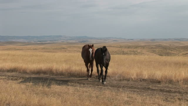 horses walking along the grass field in montana united states - alm stock-videos und b-roll-filmmaterial