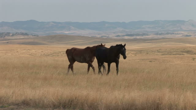 horses walking along the grass fields of montana united states - alm stock-videos und b-roll-filmmaterial