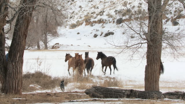 ws horses walking in snow with cowboy, cowgirl and dogs / shell, wyoming, united states - newoutdoors stock videos & royalty-free footage