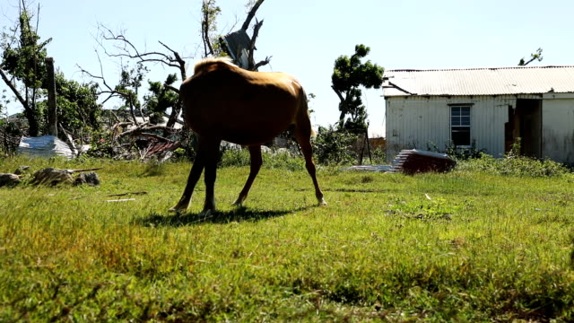 Horses walks among abandoned homes on the nearly destroyed island of Barbuda on December 8 2017 in Cordington Barbuda Barbuda which covers only 62...