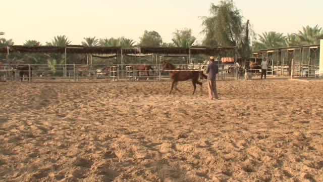 horses wide view of a horse running a circle with a trainer holding his reins in a manege on a desert farm surrounded by palm trees - bridle stock videos & royalty-free footage