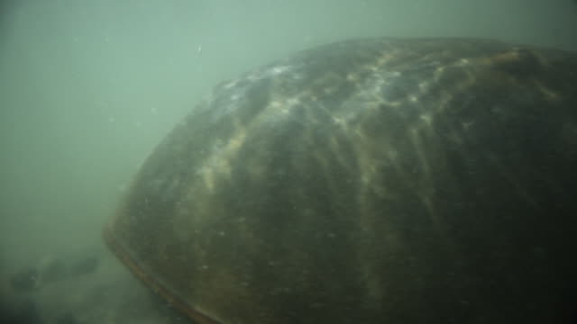 horseshoe crab scuttles across seabed, delaware, usa - aquatic organism stock videos & royalty-free footage
