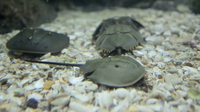 horseshoe crab shell - animal shell stock videos & royalty-free footage