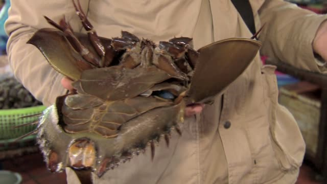horseshoe crab - gill stock videos & royalty-free footage