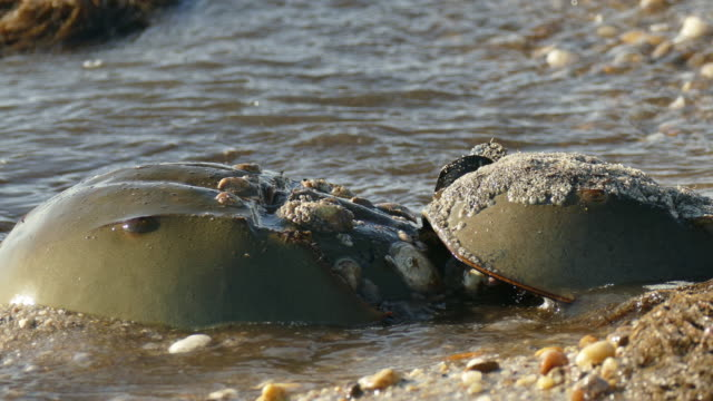 horseshoe crabs closeup slaughter beach delaware bay waves - spawning stock videos and b-roll footage