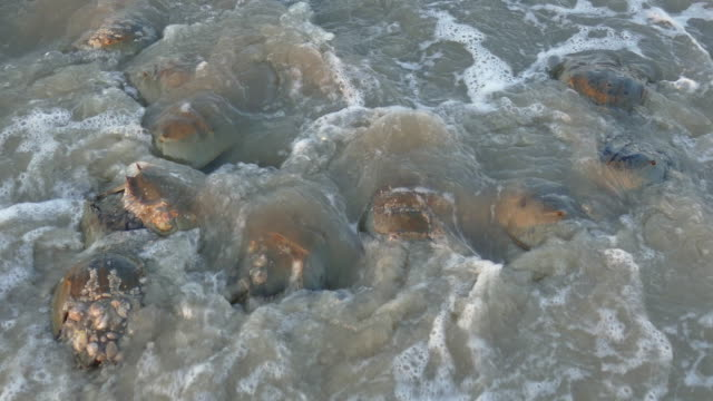 Horseshoe crabs spawn high tide Slaughter Beach Delaware Bay waves