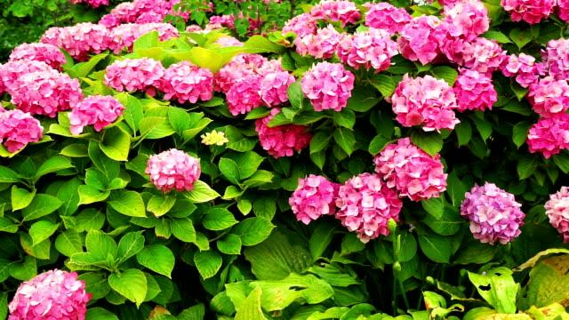 vídeos y material grabado en eventos de stock de hortensia en el jardín - hortensia