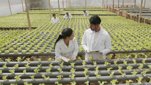 horticulturalists checking the growth of lettuce plants at a hydroponic crop - greenhouse stock videos & royalty-free footage