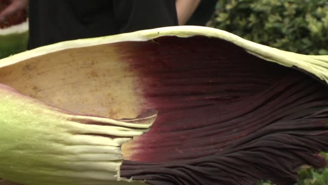 vídeos y material grabado en eventos de stock de wgn horticulturists said spike the chicago botanical garden's corpse flower didn't have enough strength to open on its own a twoman team cut open the... - malos olores