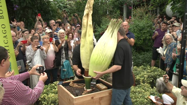 wgn horticulturists said spike the chicago botanical garden's corpse flower didn't have enough strength to open on its own a twoman team cut open the... - unpleasant smell stock videos & royalty-free footage