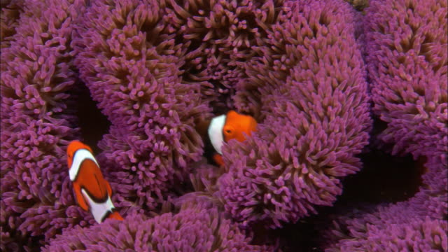 cu, host  anemone and clown anemone fishes, papua new guinea  - anemonenfisch stock-videos und b-roll-filmmaterial