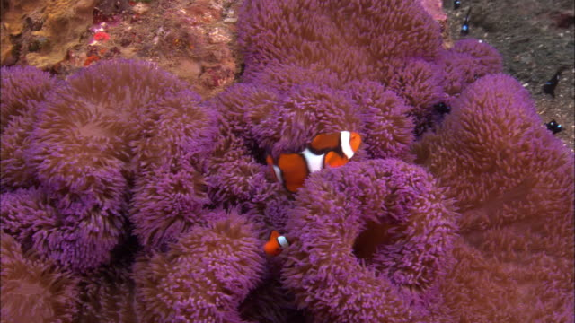 CU, Host  Anemone and Clown Anemone fishes, Papua New Guinea