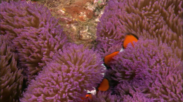 cu, host  anemone and clown anemone fishes, papua new guinea  - two animals stock videos and b-roll footage