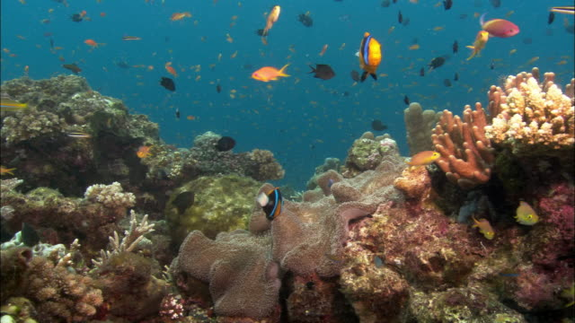 ms, host anemone and orange-fin anemone fishes by coral reef, papua new guinea  - bright colour stock videos & royalty-free footage