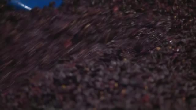 hot and dry summer followed by wet spell helps english winemakers; england: devon: int **clarke interview partly overlaid sot** various of black... - grape stock videos & royalty-free footage