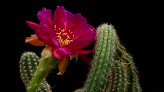 hot pink cactus time-lapse - hot pink stock videos and b-roll footage