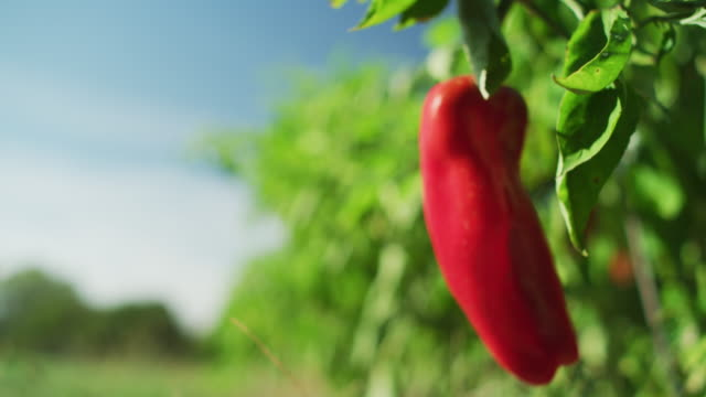 hot red peppers growing in a farm-to-table organic garden. - farm to table stock videos & royalty-free footage