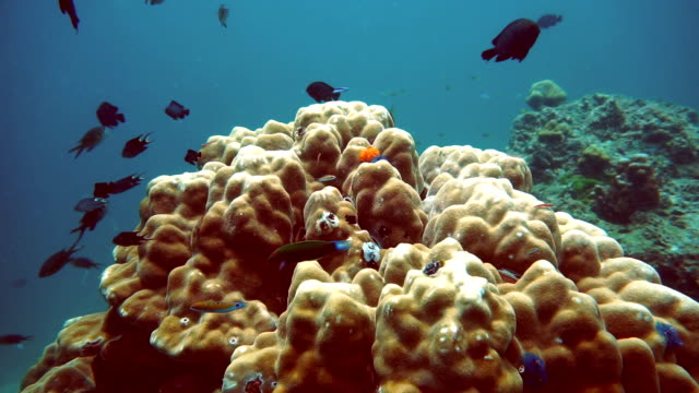 Hot Summer Coral Bommie Bleaching (Phylum Cnidaria) (Anthozoa) Environmental Damage due to Global Warming.  Ko Haa, Andaman Sea, Krabi, Thailand.