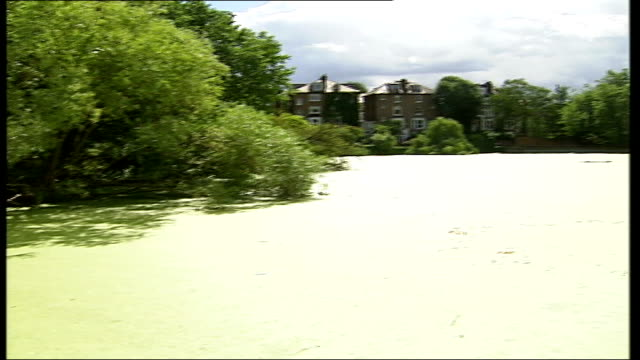 stockvideo's en b-roll-footage met hot weather threat to pond life general view of hampstead heath pond with large area of surface covered with duck weed coot swimming amongst duckweed... - koet