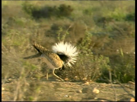 Houbara Bustard, Chlamydotis undulata,  male Bustard begins courtship display runs, MS, Israel