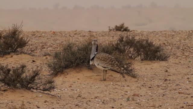 houbara bustard (chlamydotis undulata) walking in desert - extinct stock videos and b-roll footage