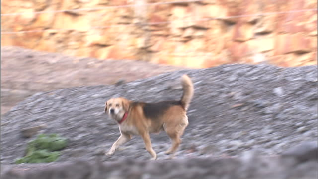 hound mix dog w/ collar trotting through coal yard turning head to look then moving out of frame beagle mix medium size junk yard dog pet protection - hound stock videos & royalty-free footage
