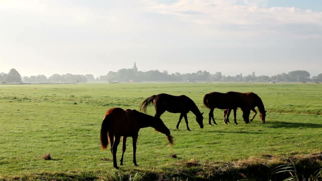 Hourses Herding In Meadow Near Amsterdam, The Netherlands