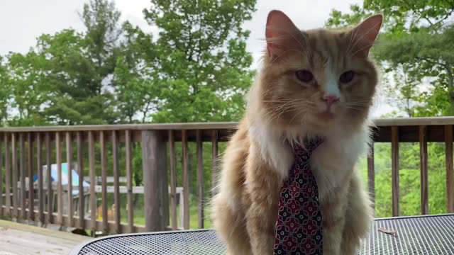 house cat wearing a necktie sits outside on video call - animal hair stock videos & royalty-free footage