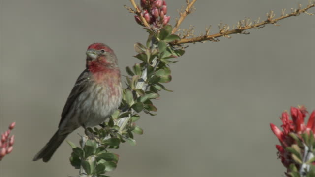 House Finch perches