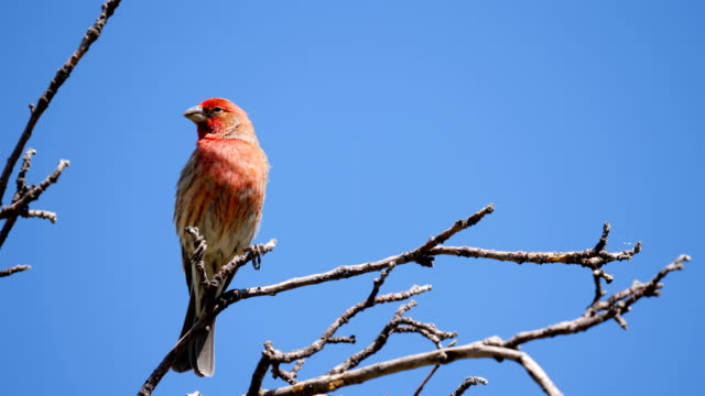 house finch - songbird stock videos & royalty-free footage