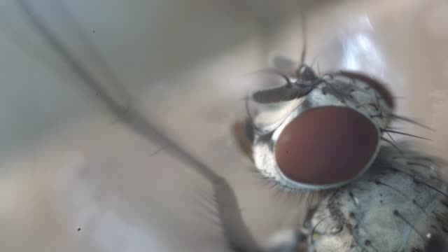house fly eyes under light microscopy - housefly stock videos & royalty-free footage