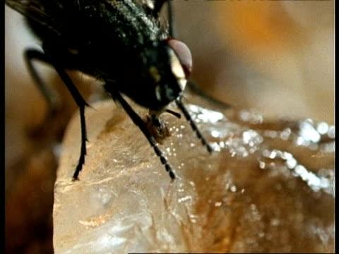 BCU House Fly feeding on sugar, UK