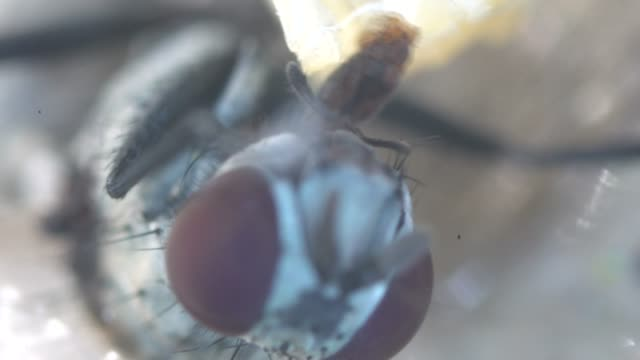 house fly sucking honey under microscopy - sucking stock videos & royalty-free footage