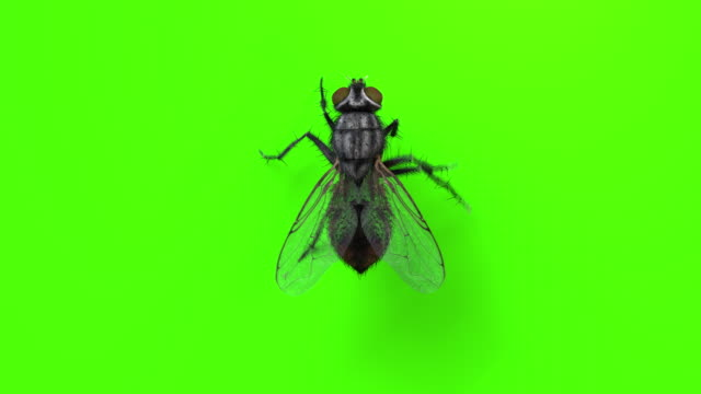 vídeos de stock e filmes b-roll de house fly walking on green chromakey - one animal