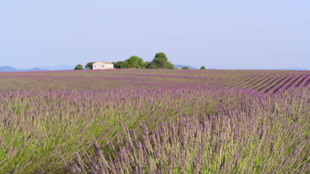ds house in the middle of lavender field - rolling landscape stock videos & royalty-free footage