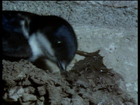 house martin builds mud nest under eaves of house. - eaves stock videos and b-roll footage