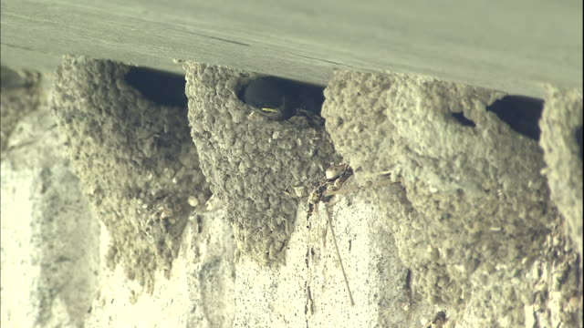 house martin chicks await food in nests under a bridge in japan. - bird's nest stock videos & royalty-free footage