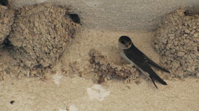 CU House Martin (Delichon urbicum) chicks in nest / Panaya, Cyprus