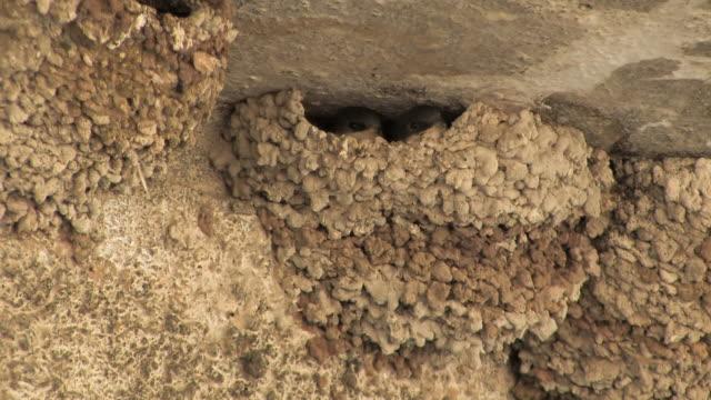 cu house martin (delichon urbicum) feeding chick in nest / panaya, cyprus - kleine gruppe von tieren stock-videos und b-roll-filmmaterial