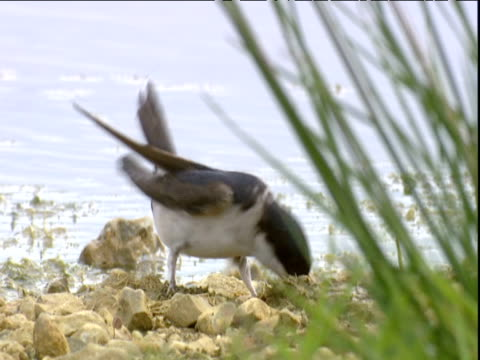 house martin gathers mud for nest - ニューバリー点の映像素材/bロール