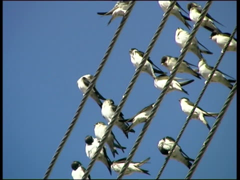 house martins (delichon urbicum) covering electricity cables, cyprus (with audio) - singing stock videos and b-roll footage